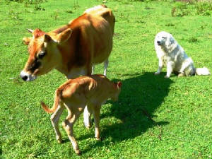 20110816daisyandnewcalf.jpg